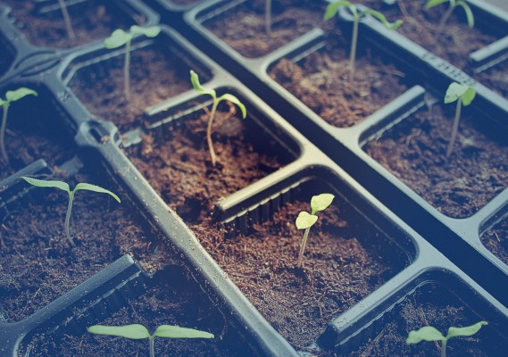 tomatoe seedlings