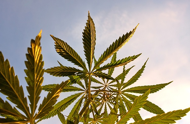 Growing Like a Weed: Marijuana Policy in 2018